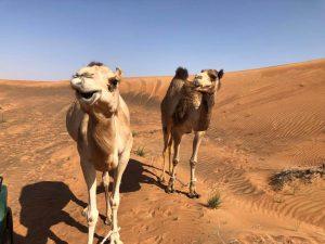 camello MleihaSharjah arqueología Emiratos Dubai en español enespanol (6)